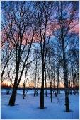 Зимний закат в березовой роще