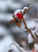 Кустарник с красными ягодами под снегом. Зимний парк фото
