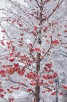 Яблоня китайка с красными яблоками в инее. Фото
