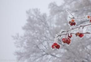 Красные яблоки в инее. Морозное туманное утро. Фото