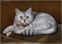 Испуганный серый кот. Фото британских кошек