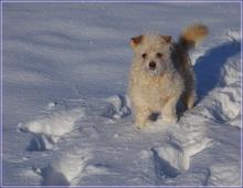 Собака в снегу. Фото маленькой собаки