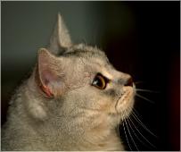 Британские кошки фото. Как фотографировать кошку