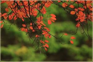 Красные осенние листья на зеленом фоне