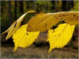 Желтые осеннеи листья скоро облетят. Фото осенних листьев