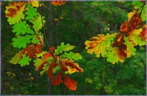 Разноцветные листья дуба. Красивые осенние листья. Фото осенних листьев