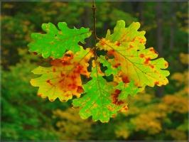 Картинка Дубовый лист. Фото дубовых листьей. Красивые фото осенней природы