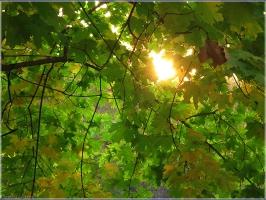 Солнце сквозь листья. Солнечный свет. Фото. Красивые фото осенней природы
