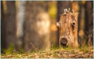 Пень с человеческим лицом. Осенний лес