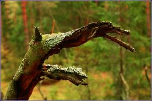 Чудище лесное. Осенний лес. Коряга в сосновом лесу. Красивые осенние фото