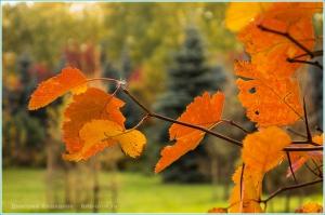 Осенние красные листья на фоне голубых елей