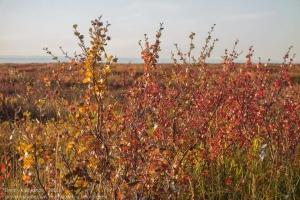 Тундровая растительность осенью. Осень за Полярным кругом