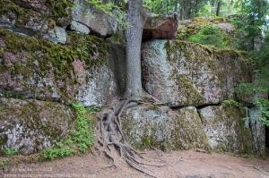 На камнях действительно растут деревья. Парк Монрепо. Выборг