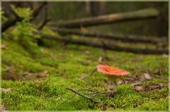 Красная сыроежка и поваленное дерево