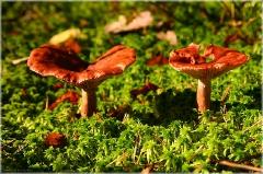 Два гриба на солнечной поляне. Несъедобные грибы. Фото