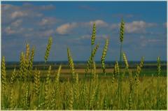 Красивое поле фото. Колосья фото. Красивые фото лета
