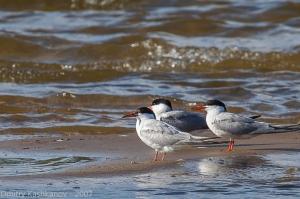 Речные птицы крупным планом. Фото телеобъективом. Крачки