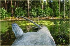Сухое дерево упало в лесное озеро. Самые красивые фото лета 2011