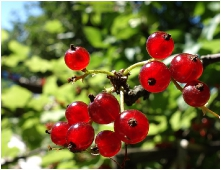 Красная смородина - красивая ягода
