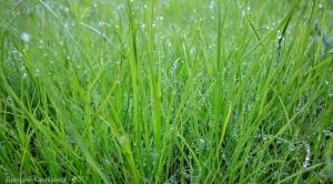 Утренняя трава на зеленой газонной траве